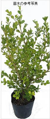 ボックスウッド(西洋ツゲ)の苗木を販売