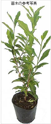 サヤマカオリ茶(緑茶)の苗木を販売