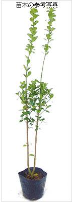青まさき(青マサキ)の苗木を販売