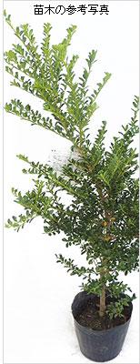 金芽つげ(キンメツゲ)の苗木を販売