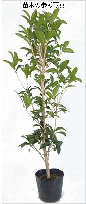 金木犀(キンモクセイ・きんもくせい)の苗木を販売