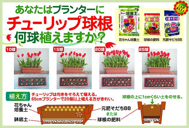 オランダチューリップの球根(2色咲き・八重咲き・百合咲き・パーロット咲き・フリンジ咲き・原種など)を販売