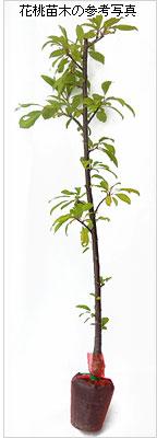 花桃(モモ)の花木(苗木)の育て方