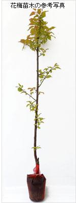 花梅(ウメ)の花木(苗木)の育て方