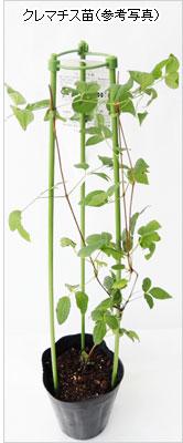 花の苗(多年草)クレマチス苗を通販